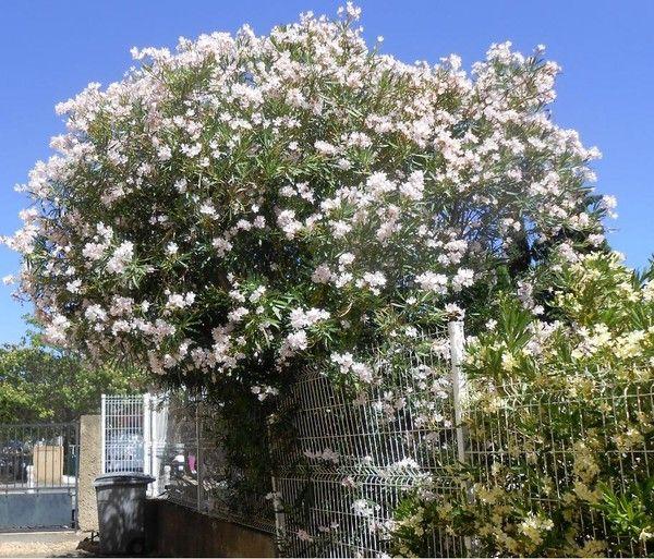 Flore for Quand rempoter un laurier rose