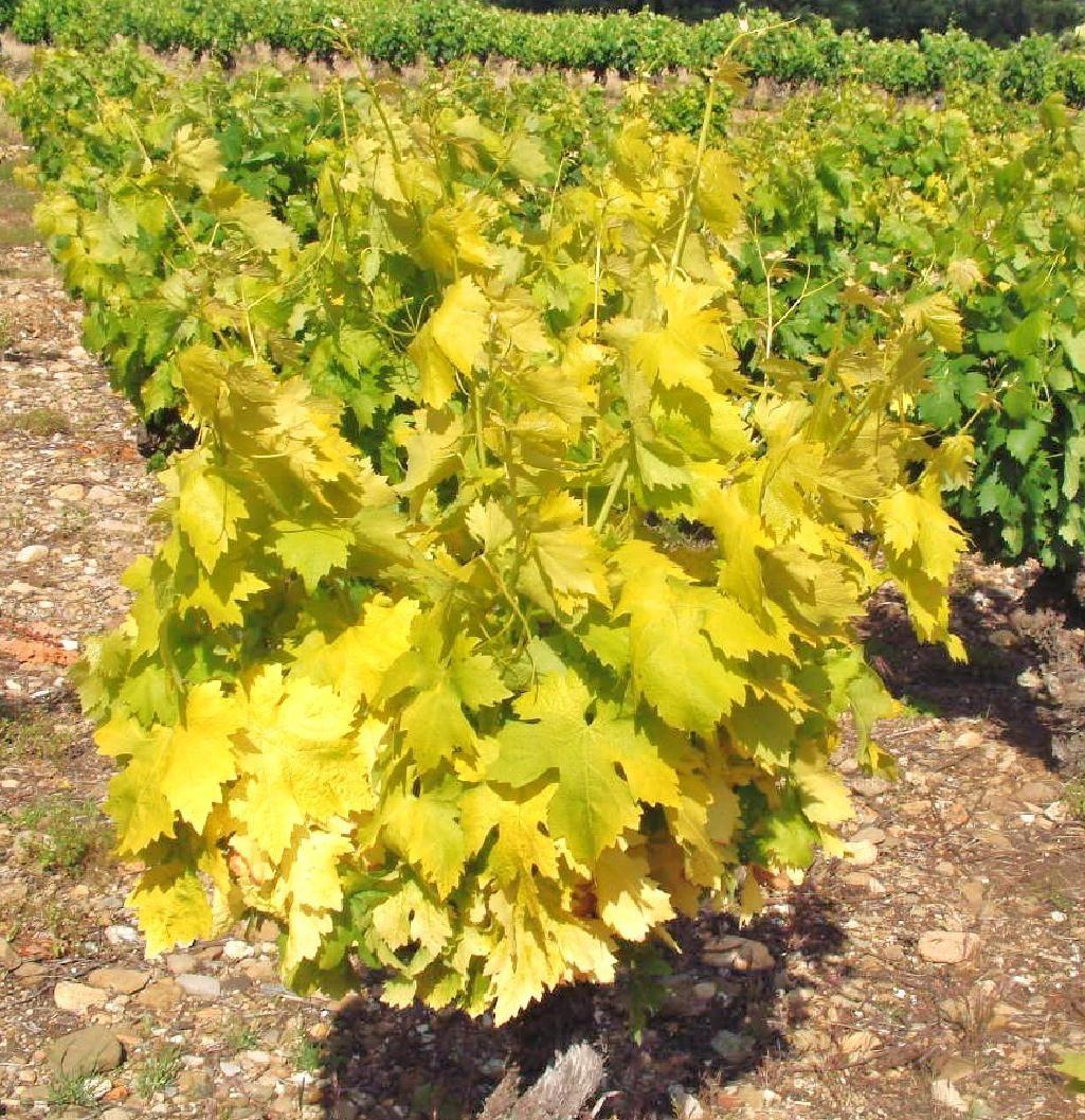 Un pied de vigne atteint de chlorose